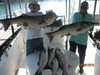 (06/29/2016) - Nice Striped Bass